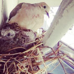 """Kelly Owen and Keri Troutman of Strategic Communications quietly snapped this shot of a dove (named """"Prince"""") and its baby nesting above the doors to Building 65."""
